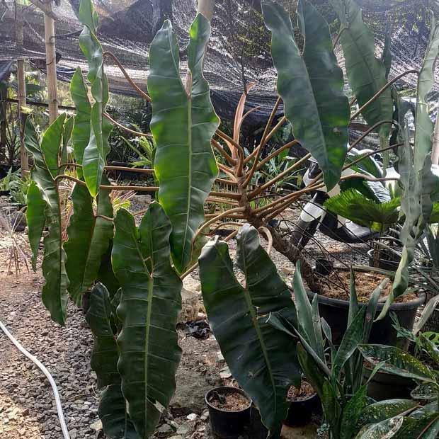 Philodendron grandiflorum (Kabel Busi Grandiflorum) (courtesy Instagram @mygardenofficial)