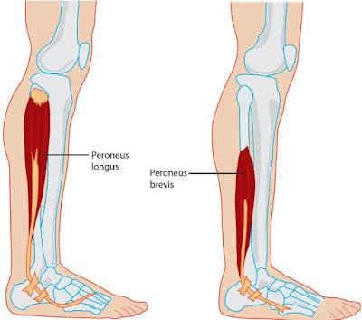 Anatomi peroneus tertius pada tubuh manusia. Bahasan anatomi origo, insersi, aksi, saraf, dan arteri dari otot peroneus tertius.