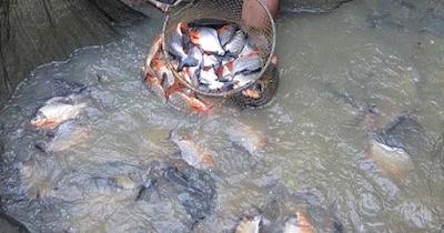 Bagaimana Budidaya dan Pemeliharaan Ikan Bawal Air Tawar