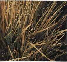 Gambar Defisiensi besi pada rerumputan