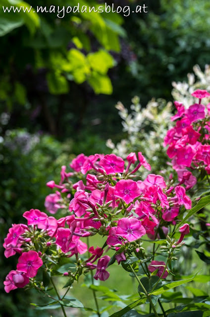 Phlox in Pink