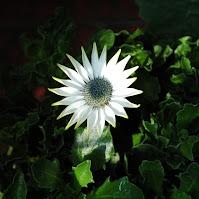 White daisy under the sun