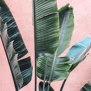 Palma bananowa