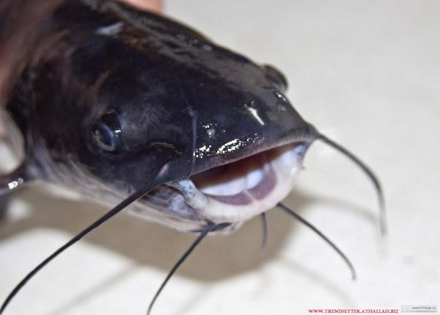 Gambar Nama Latin Ikan Lele Dan Ciri Cirinya?