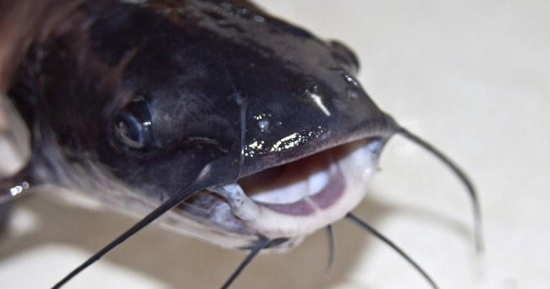 Sudahkah Sahabat Tahu Nama Latin Ikan Lele Dan Ciri ...