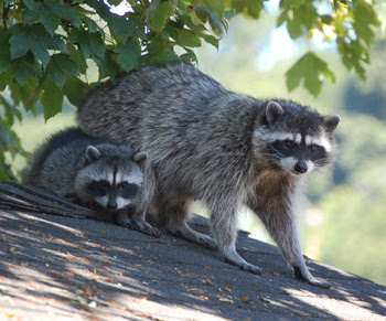 Raccoon Information