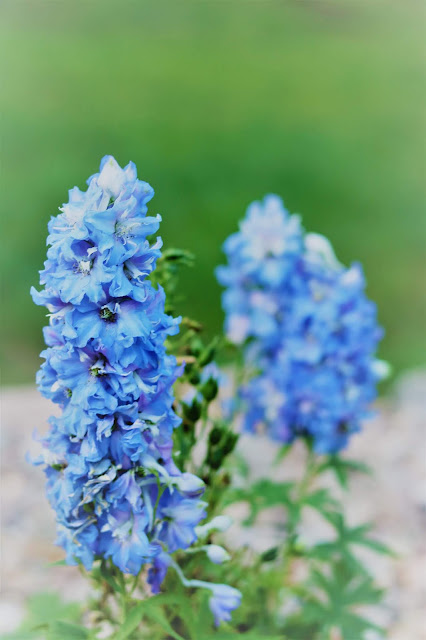 homegrown, flower, grower, farmer, delphinium, book, a bloom, athomewithjemma