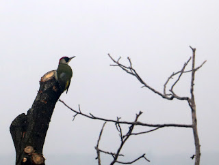 One woodpecker on the oak tree