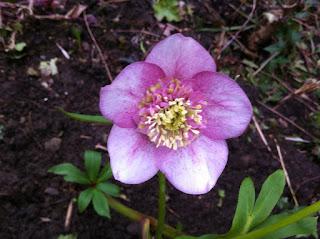 Hellebore rose