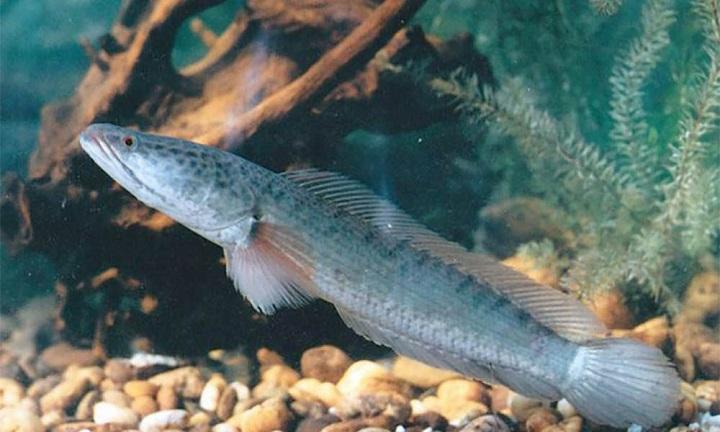 Wow, Harga Ikan Gabus Kini Mencapai Rp 35 Juta