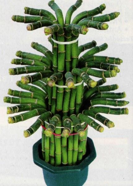 Bambu Rezeki Sebagai Hiasan Untuk Memperindah Ruangan