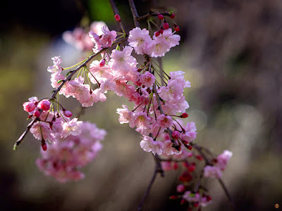 Shidare-zakura (Cerasus spachiana 'Pendula') flowers: Kencho-ji
