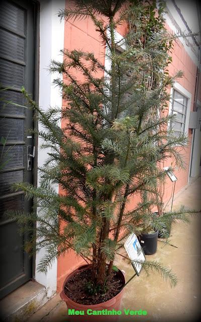 Onde encontrar para venda Cunninghamia lanceolata