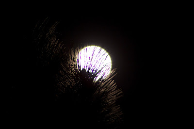 moon through pine tree
