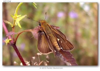 Mariposa saltarína alas largas (Panoquina ocola)