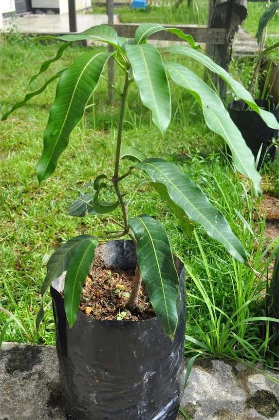 Paket 4 Bibit Mangga super kiojay yuwen irwin garifta merah Kalimantan Selatan