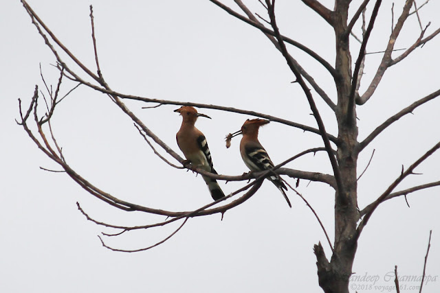 Eurasian Hoopoe were seen feeding (Oct-18)