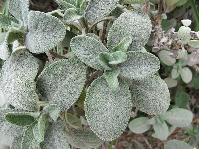 healthy growing sage leaves