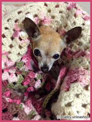 chihuahua bailey loves her afghans