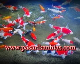 Pasar Ikan Hias Termurah Di Yogyakarta