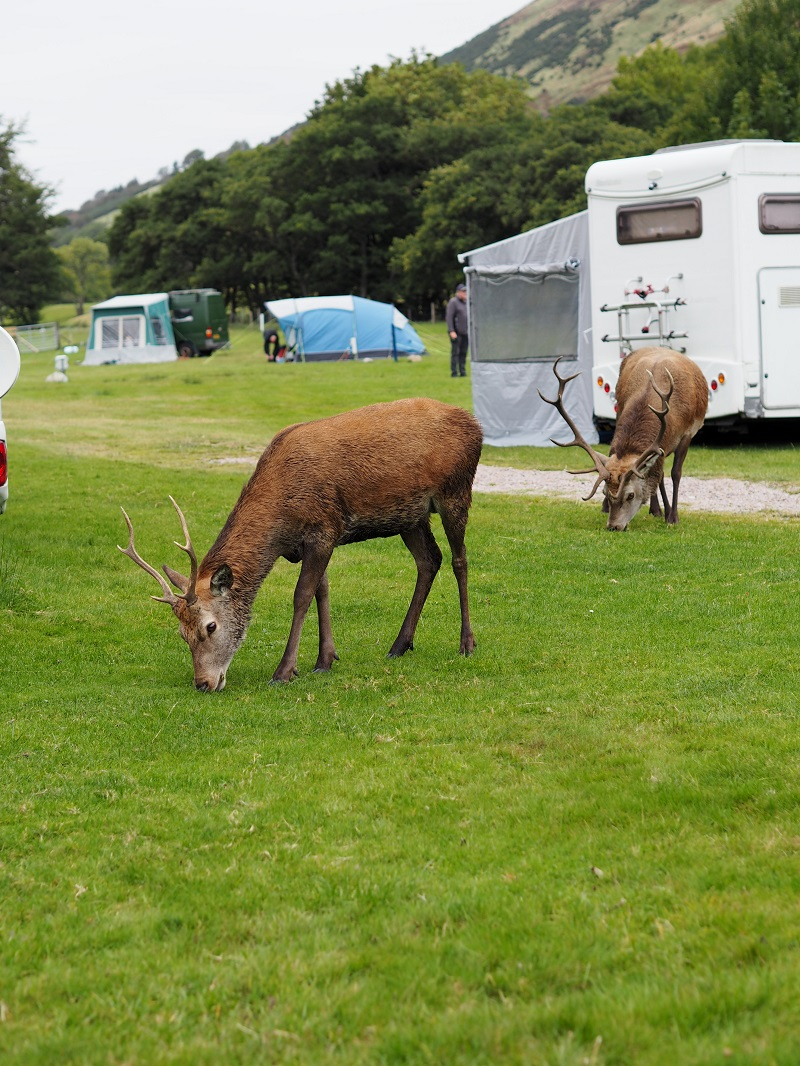 Deer grazing among the tents and campervans at Lochranza campsite