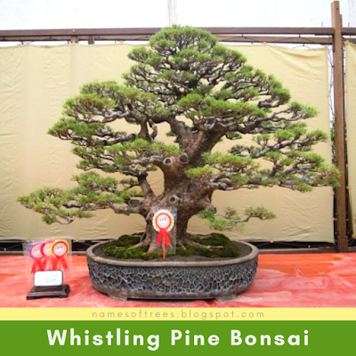 Whistling Pine Bonsai
