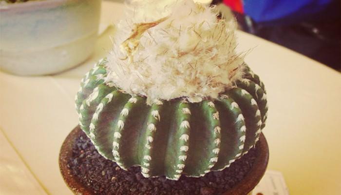 Cactus discocactus horstii