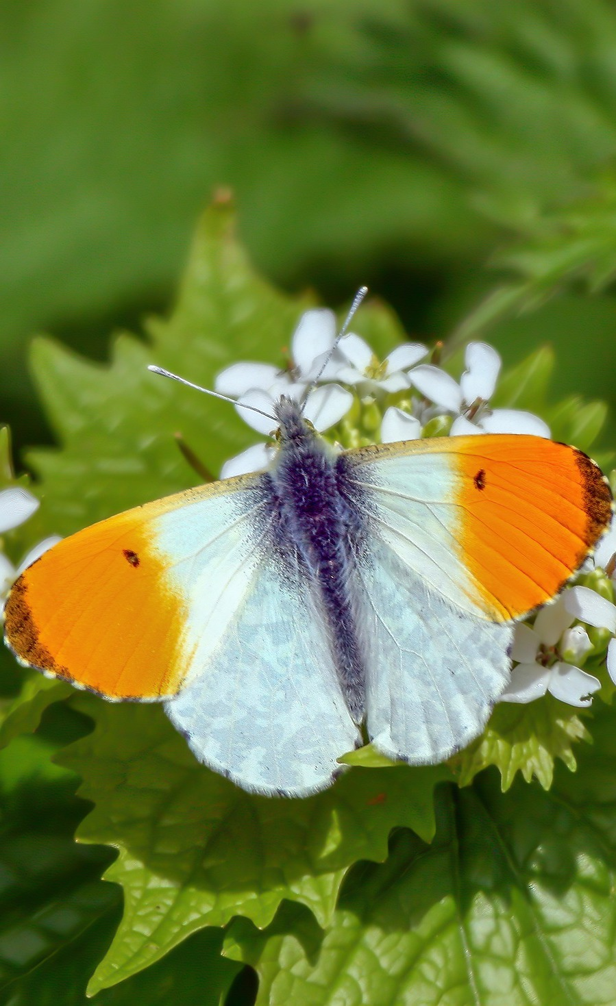 An orange-tip butterfly.
