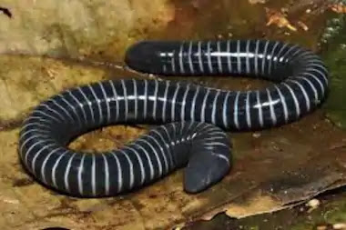 Scientists Discover New Species of Amphibians with Snake-Like Venom Glands