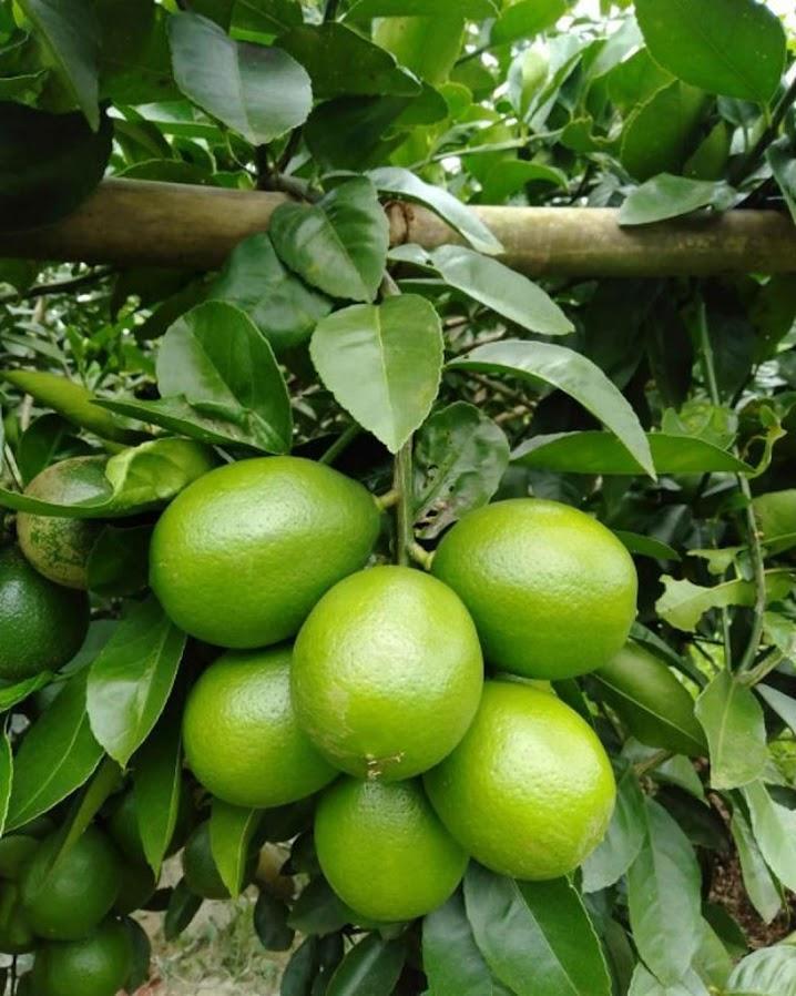 bibit lemon jumbo California okulasi bisa di tabulampot kan Jambi