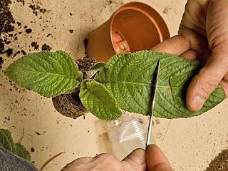 Стрептокарпусы: уход и выращивание