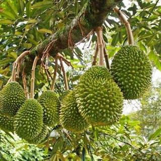 Jual bibit durian murah genjah