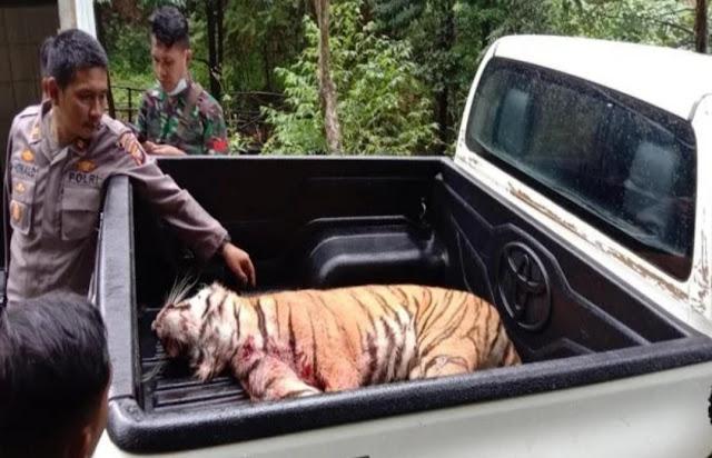 Dua Ekor Harimau Sumatera Lepas dari Kebun Binatang, Satu Tewas Ditembak
