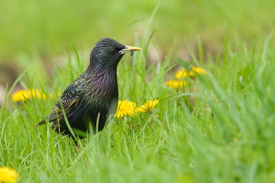 Kuldnokk, Sturnus vulgaris, Common Starling, European