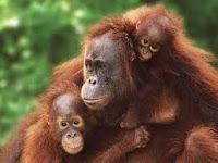 Apakah Monyet Mengalami Siklus Menstruasi Seperti manusia?