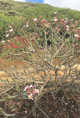 plumeria with flowers