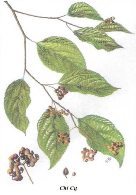 CHỈ CỤ - Hovenia dulcis - Nguyên liệu làm Thuốc Ngủ, An Thần, Trấn Kinh