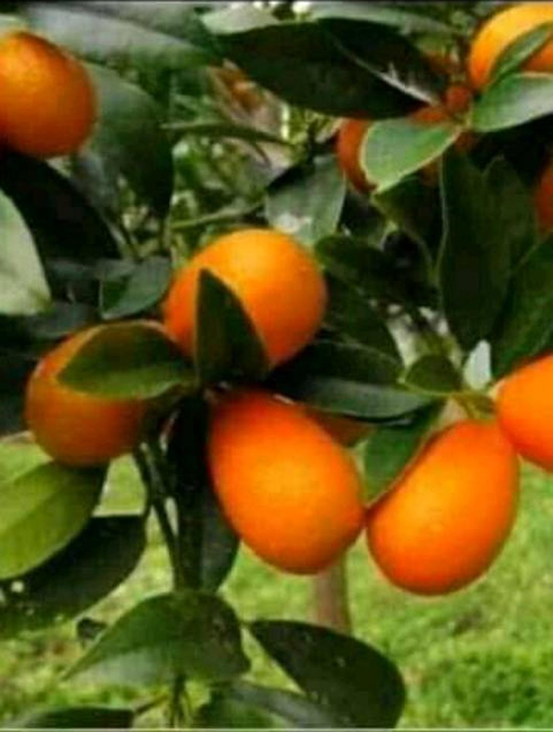 Bisa Partai Besar! bibit jeruk nagami bibit tanaman buah buahan benih buah buahan bibit pohon buah benih tanaman buah Kota Bogor #bibit buah genjah termurah