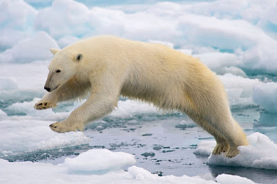 Polar bear jumping on fast ice