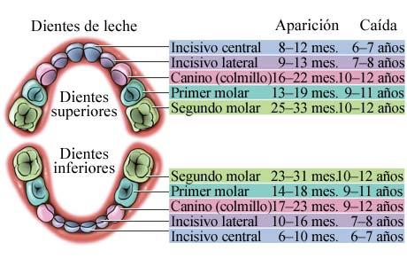 cuantos dientes tiene un niño · conlosochosentido.es