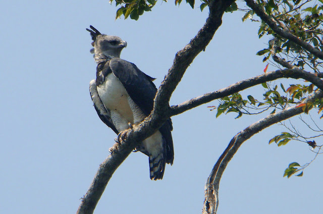 Harpia - Gavião-real - Amazonia