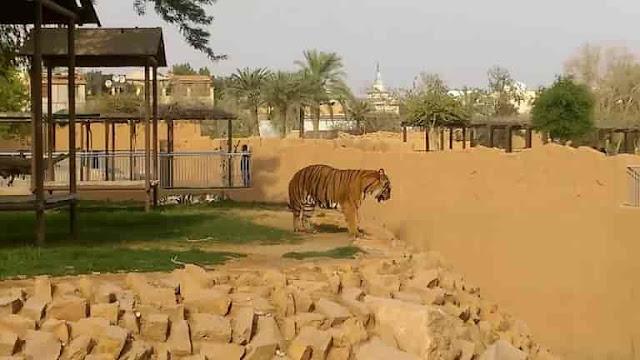 Video : Tiger attacks man at Riyadh Zoo in the Capital city of Saudi Arabia