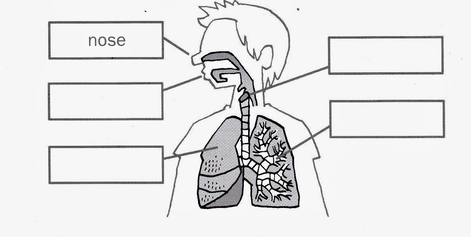 Respiratory System No Labels Coloring Sheet Coloring Pages