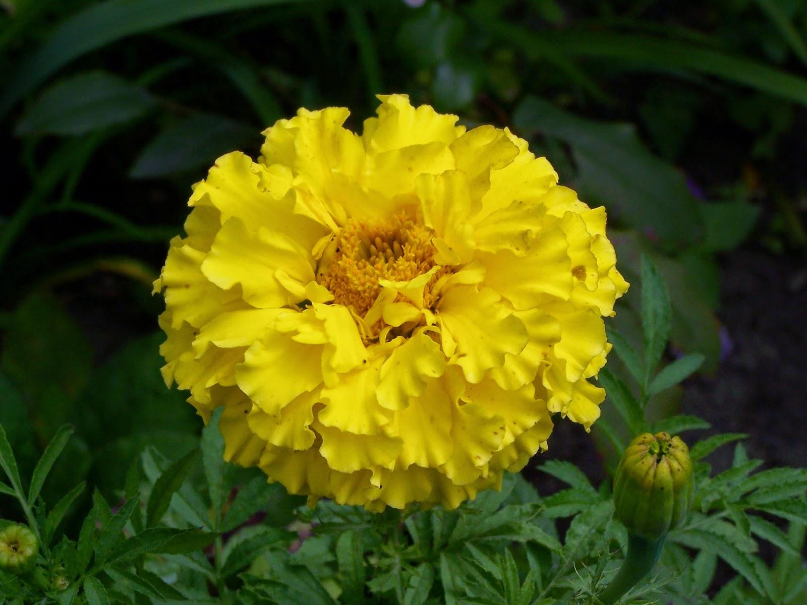 Khasiat dan Manfaat Bunga Kana Untuk Keputihan
