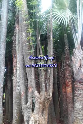 Pohon pule murah