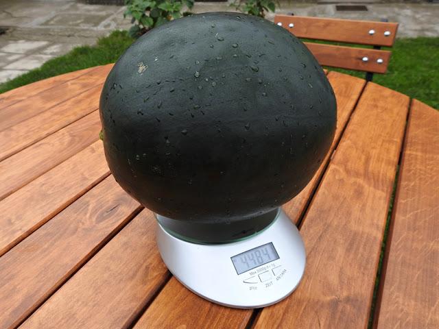 arbuzy potrafią osiągnąć dość duże rozmiary, ten ważył 4,5 kg