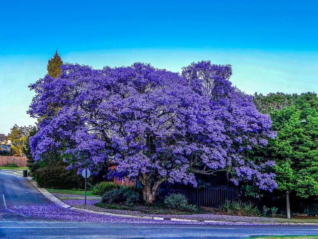 Hình ảnh hoa phượng tím đẹp ngất ngây