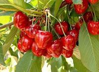 Kiraz Vişne Nasıl Yetiştirilir Vişne Kiraz Meyve Yetiştiriciliği