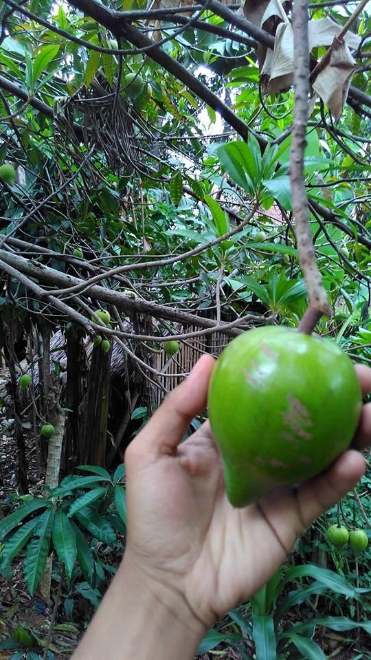 buah jigong masih muda