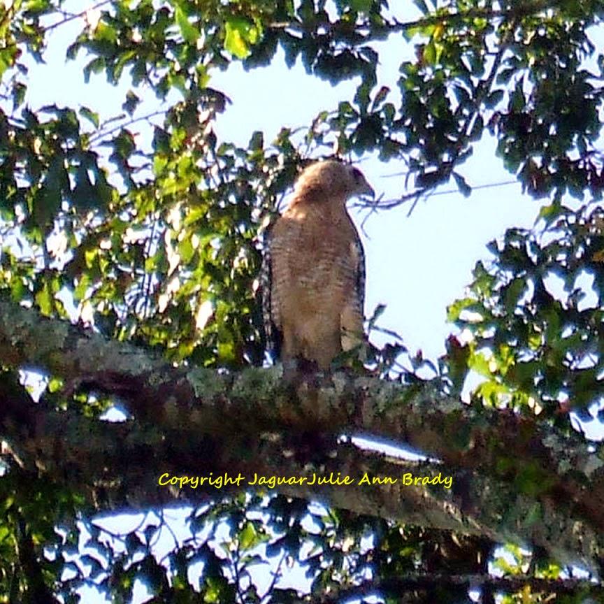 red-shouldered hawk in water oak tree